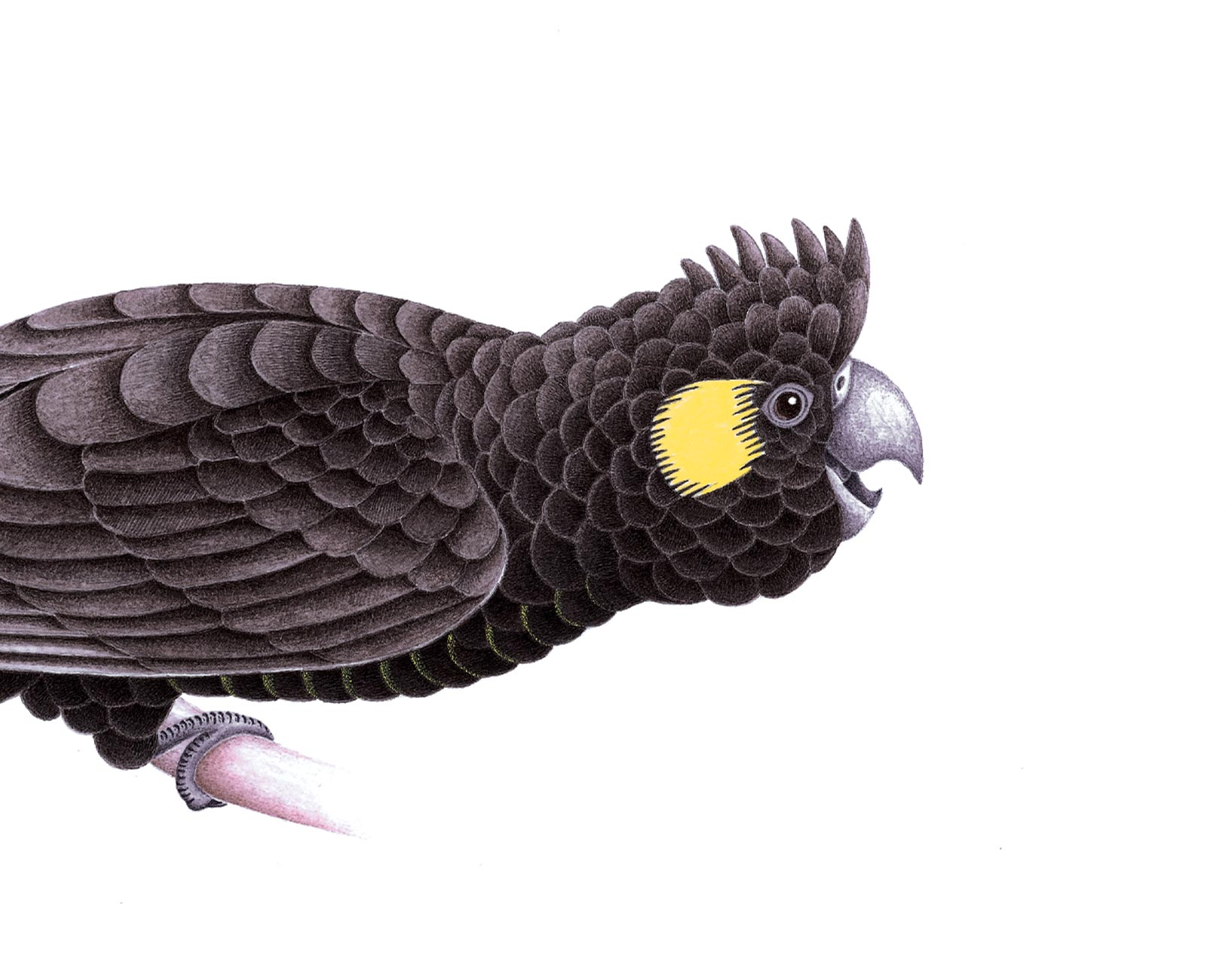 Tapanappa cockatoo illustration