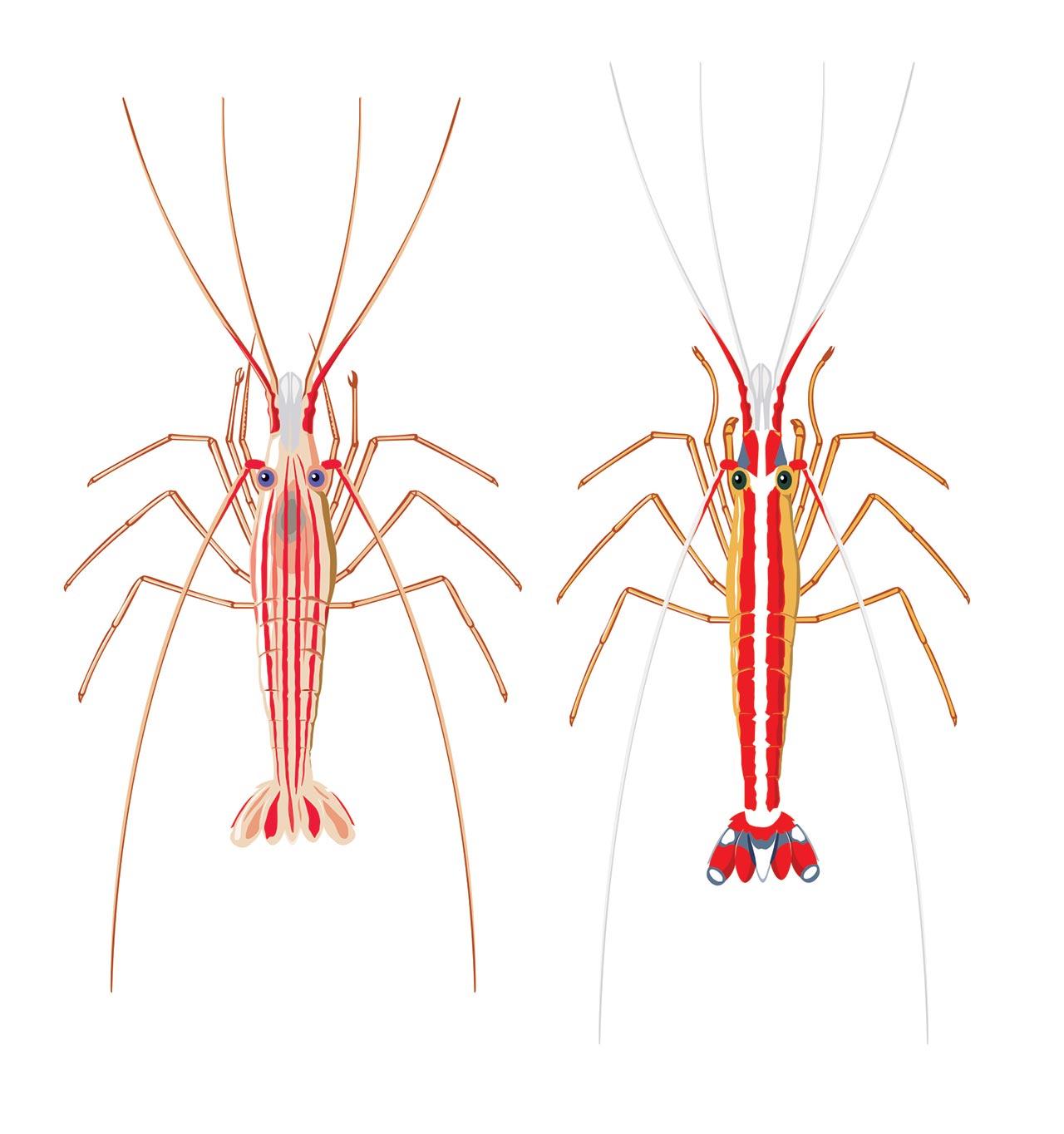 Cleaner shrimps