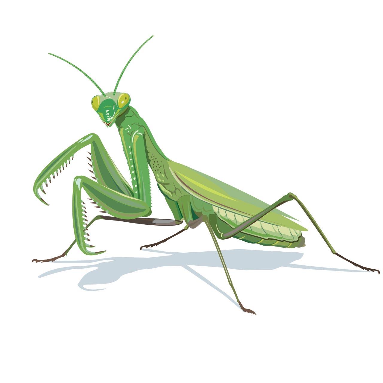 Fauna praying mantis