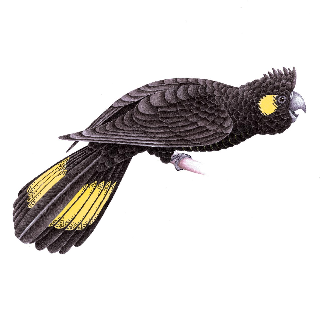 Tapanappa yellow-tailed black cockatoo
