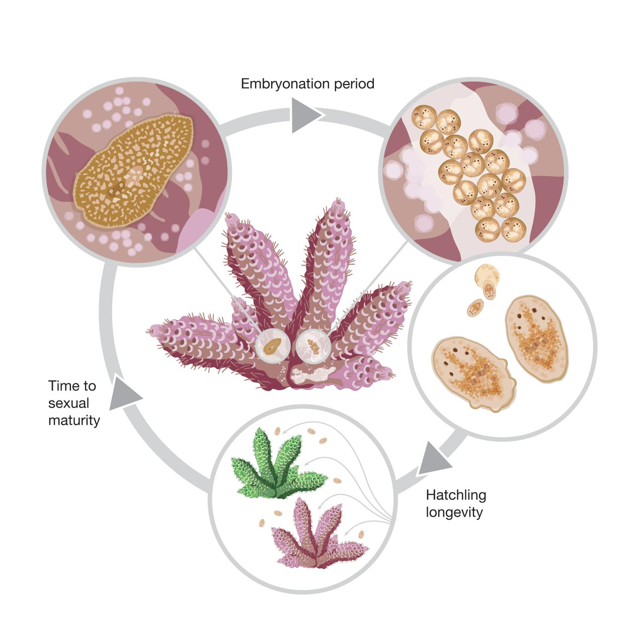 Polyclad flatworm life cycle
